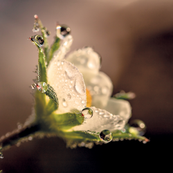 Flower with dew drops