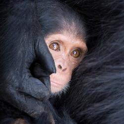 Bambino di scimpanzé cullato da sua madre