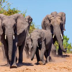 Branco di elefanti che vengono ad abbeverarsi al fiume Chobe
